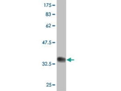Mouse Anti-PAXIP1 Antibody