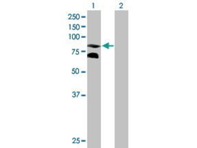 Mouse Anti-CPEB3 Antibody