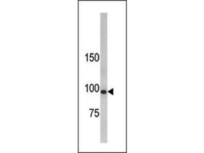 Rabbit Anti-LLGL1, NT Antibody