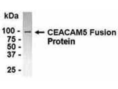 Chicken Anti-Carcinoembryonic Antigen-related Cell Adhesion Molecule 5 Antibody