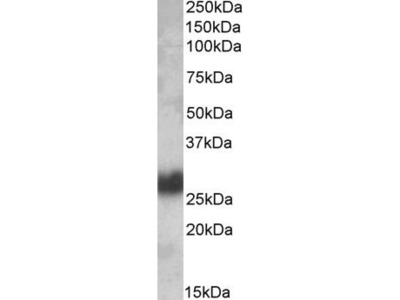 Goat Anti-CD90 Antibody