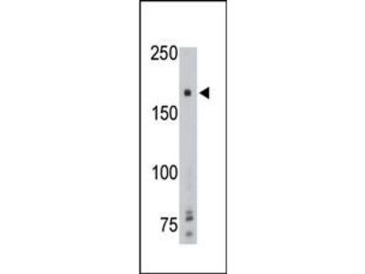 Rabbit Anti-PTP gamma, ID Antibody