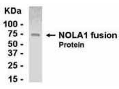 Chicken Anti-Nucleolar Protein Family A, Member 1 Antibody