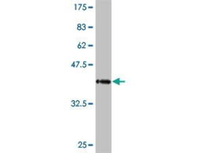 Mouse Anti-PCDHA10 Antibody