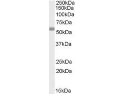 Goat Anti-TBC1 Domain Family Antibody