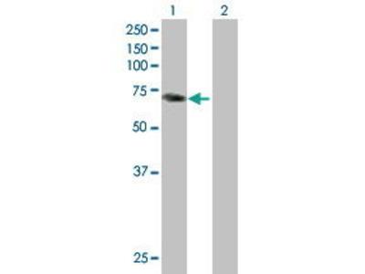 Mouse Anti-PALM2 Antibody