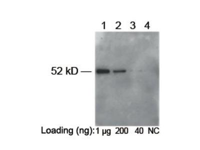 Rabbit Anti-E-Tag Epitope Tag Antibody (HRP)