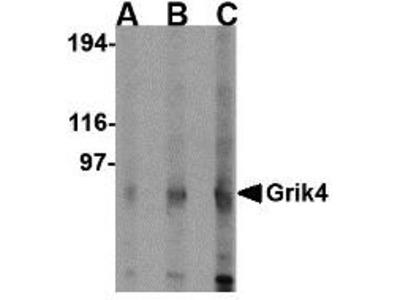 Rabbit Anti-Grik4, CT Antibody