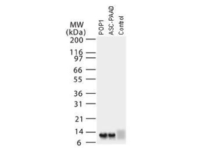 Rabbit Anti-Pyrin Domain-containing Protein 1 Antibody