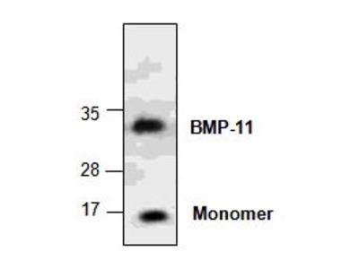 Rabbit Anti-BMP11 Antibody