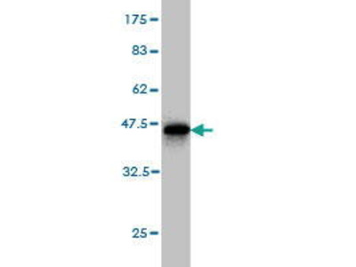 Mouse Anti-CKTSF1B1 Antibody