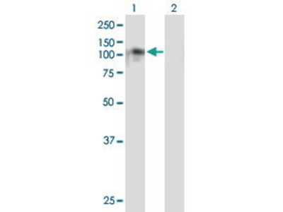 Mouse Anti-NDST4 Antibody