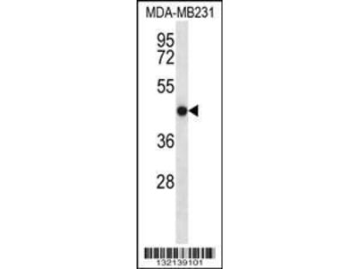 Rabbit Anti-TMEM43, ID Antibody