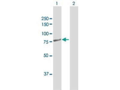 Rabbit Anti-PTCD3 Antibody