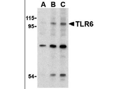 Rabbit Anti-TLR6 Antibody