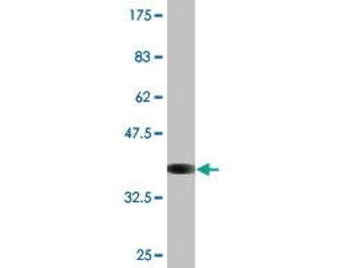 Mouse Anti-ATP1B2 Antibody