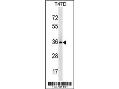 Rabbit Anti-BCL2L12, NT Antibody