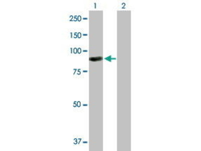 Mouse Anti-ARHGEF6 Antibody