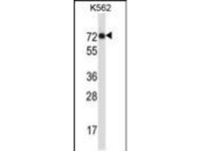 Rabbit Anti-IL1RL2, ID Antibody