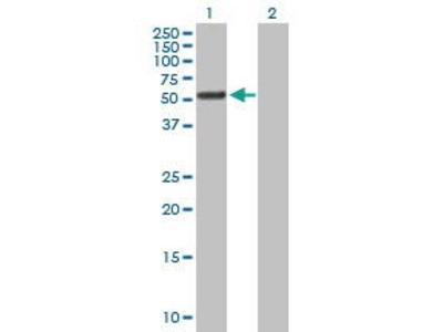 Mouse Anti-Tetratricopeptide Repeat Protein 8 Antibody