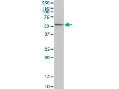 Rabbit Anti-RCN2 Antibody