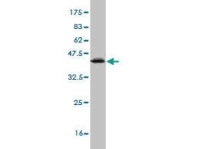 Mouse Anti-SNAPC2 Antibody