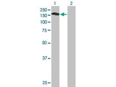 Mouse Anti-PLEKHG4 Antibody