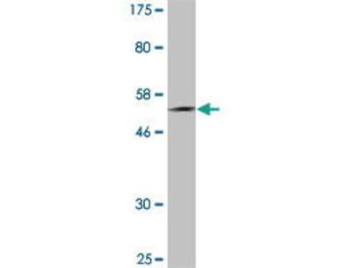 Mouse Anti-PLUNC Antibody