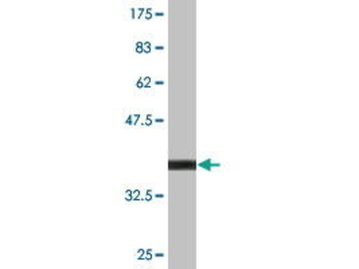 Mouse Anti-PMFBP1 Antibody