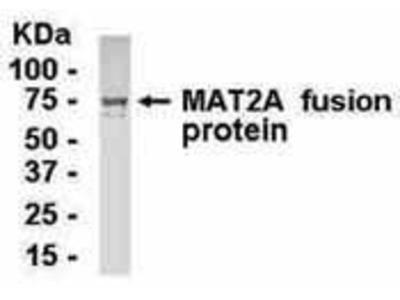 Chicken Anti-Methionine Adenosyltransferase II, alpha Antibody