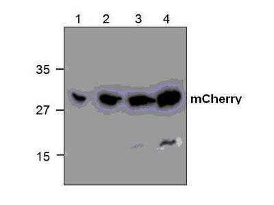 Rabbit Anti-mCherry Antibody