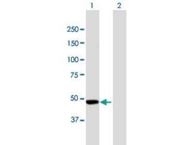 Mouse Anti-CPEB Antibody