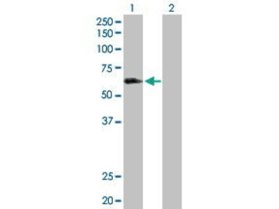 Rabbit Anti-LILRA3 Antibody