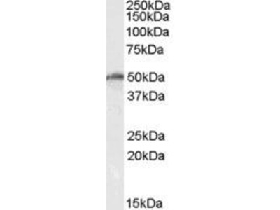 Goat Anti-DDX19 Antibody