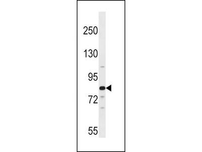 Rabbit Anti-ARNT2, ID Antibody