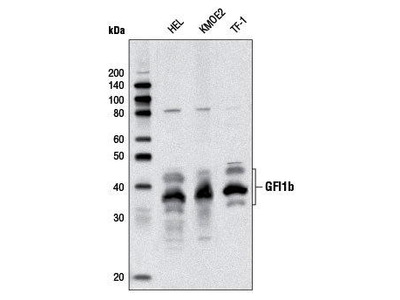 Rabbit Anti-GFI1B, CT Antibody