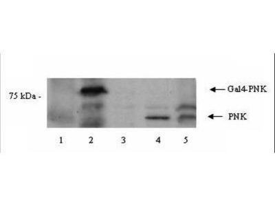 Rabbit Anti-PNK Antibody