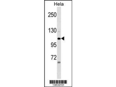 Rabbit Anti-ZNF33A, NT Antibody