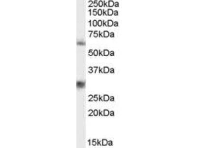 Goat Anti-MPP6 Antibody