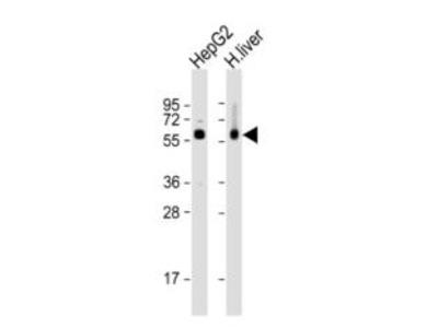 Rabbit Anti-CES2, ID Antibody