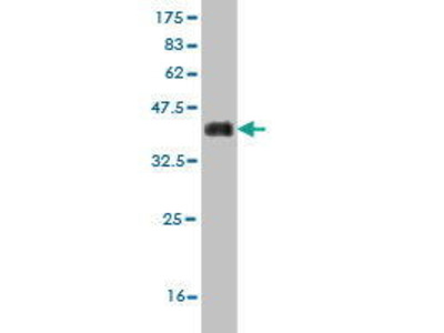 Mouse Anti-SUGP2 Antibody
