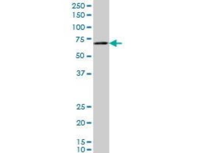 Mouse Anti-Chordin-like Protein 1 Antibody