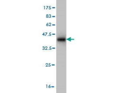 Mouse Anti-SUMF2 Antibody