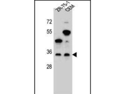 Rabbit Anti-GPM6B, NT Antibody