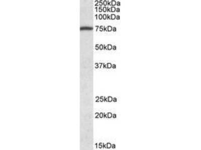 Goat Anti-UNC-112 related protein 2 Antibody