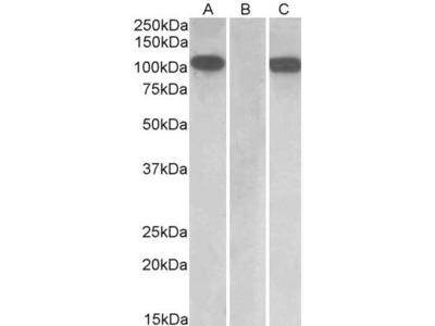Goat Anti-Furin Antibody
