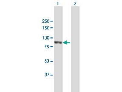 Mouse Anti-PLOD3 Antibody