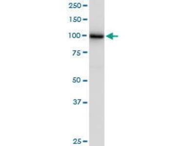 Mouse Anti-GANAB Antibody