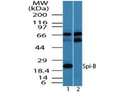 Rabbit Anti-SPIB Antibody