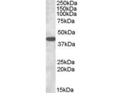 Goat Anti-Connexin 43 Antibody
